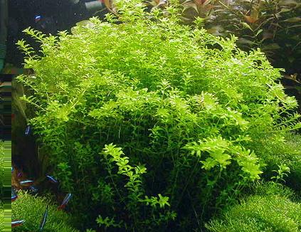 Hemianthus micranthemoides-Rośliny akwariowe in vitro ...